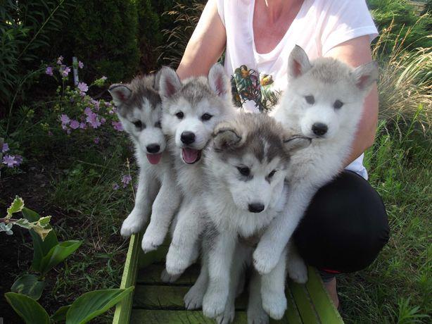 Cztery szczeniaki Husky Siberian