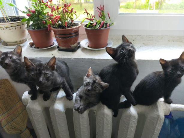 Кошенята домашні