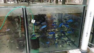 Pyszczak haplochromis ahli