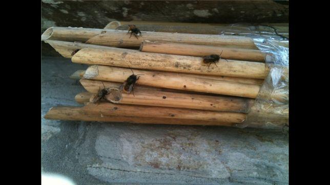 Пчела Осмия rufa рыжебрюхая, лучший опылитель