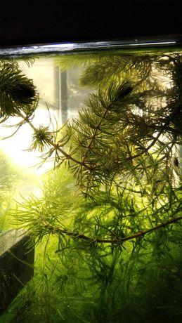 Foxtail plantas aquário