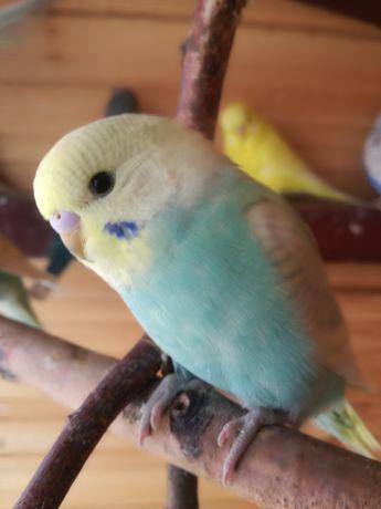 Młode Papugi Faliste, Tęczowe. SPRZEDAM LUB ZAMIENIĘ na inne.