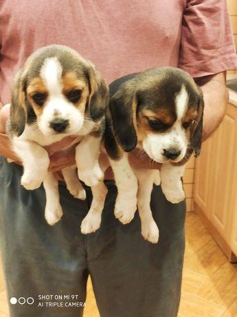 Piękne szczeniaczki beagle
