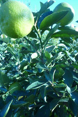 Limões caseiros e laranjas