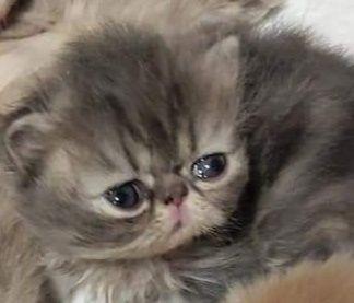 Голубой персидский котенок питомник
