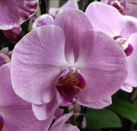 """Орхидея """"Сакраменто"""""""