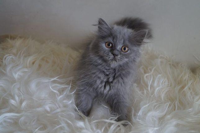 Koty kotki brytyjskie szkockie