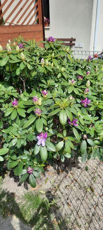 Rododendron sprzedam