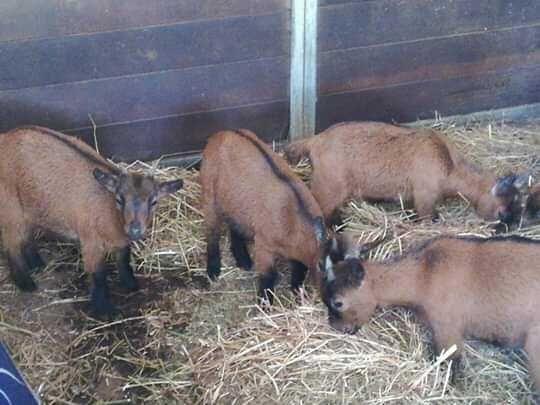 3 cabritos anão: 1 macho e 2 femeas (uns 3 meses e outros com 4 meses)
