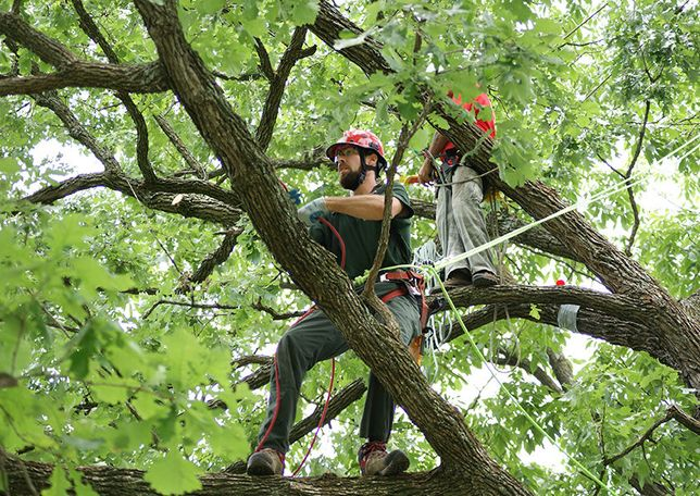 Спил деревьев  Чернигов и область