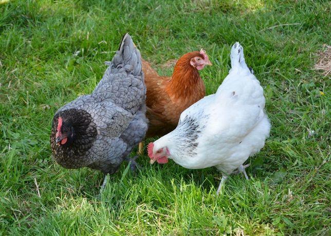 Wysyłka kury Kokoszki kolorowe kaczki gęsi perliczki drób