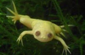 Аквариумные лягушки.