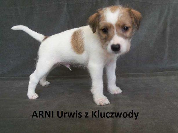 Piękne szczenięta Parson Russell Terriera, rodowód ZKwP