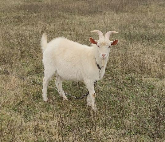 Срочно обмен продам козел зааненский от 5.5л козы