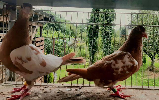 Gołębie pocztowe mulemans