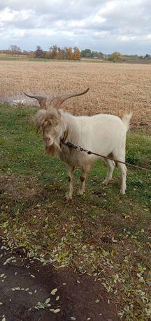 Чистокровный козёл породы ламанча