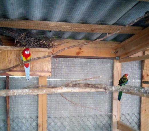 Попугаи Розелла пестрая (пара)