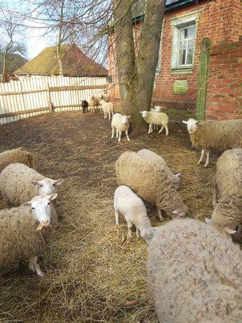 Овцы и бараны Прекосы