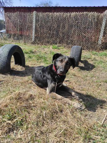 SZAKIRA, 3 letnia sunia w typie owczarka belgijskiego, adopcja! Psy