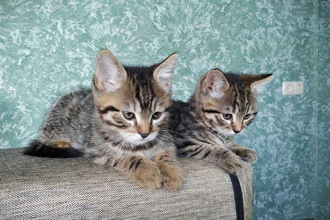Отдам котят (мальчик и девочка) в добрые руки