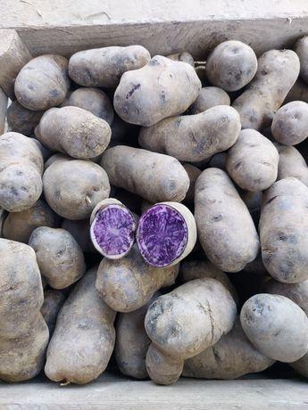 Ziemniaki truflowe , fioletowe