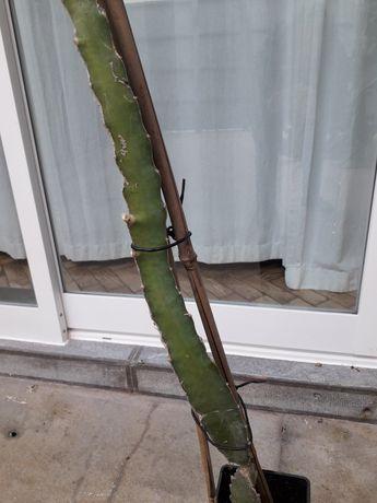 Árvore da Pitaya