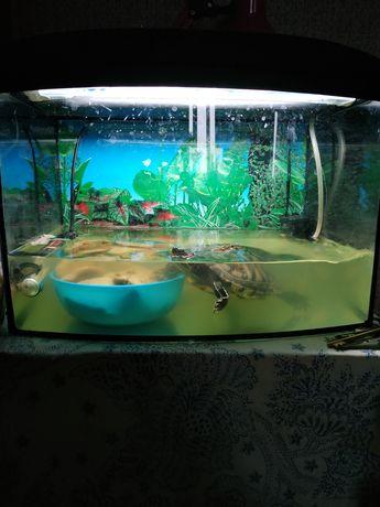 Красноухая черепаха срочно