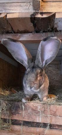 Продаю кролики разные видов породы