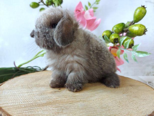 Mini lop karzełek teddy króliki wolne odbior za 3 tyg