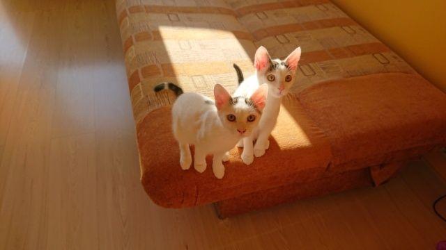 Oddam dwa kotki po kastracji w dobre ręce