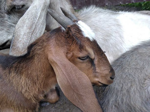 коза, козочка, козёл