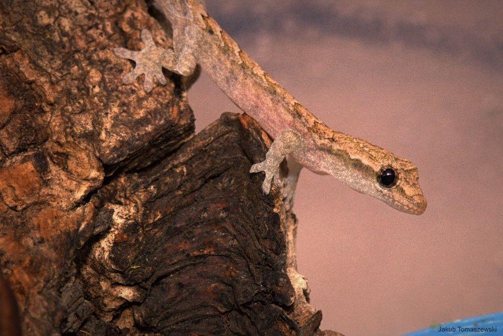 Gekon płaczący (Lepidodactylus lugubris)