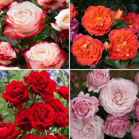 Розы саженцы в горшке ( Троянди у горщику)