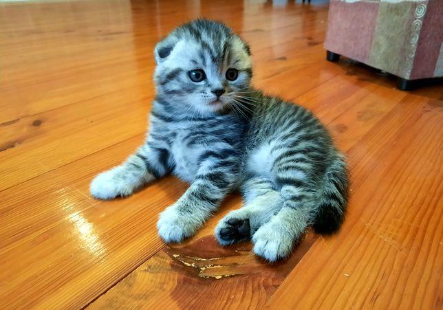 Scottish fold котята чёрный мрамор и табби
