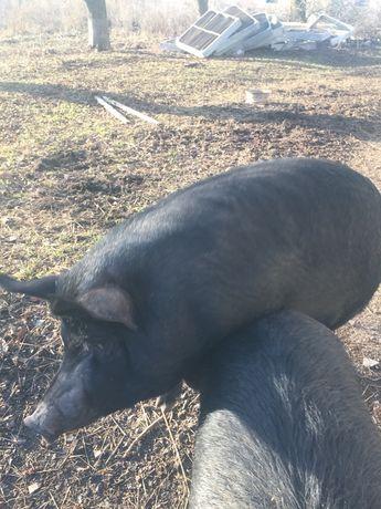 Свиня ЕКО на забій