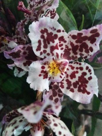 Орхидея камбрия пятнистая 75 грн.