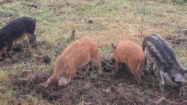 świnie pastwiskowe mangalica -prosięta warchlaki i knurki rozpłodowe