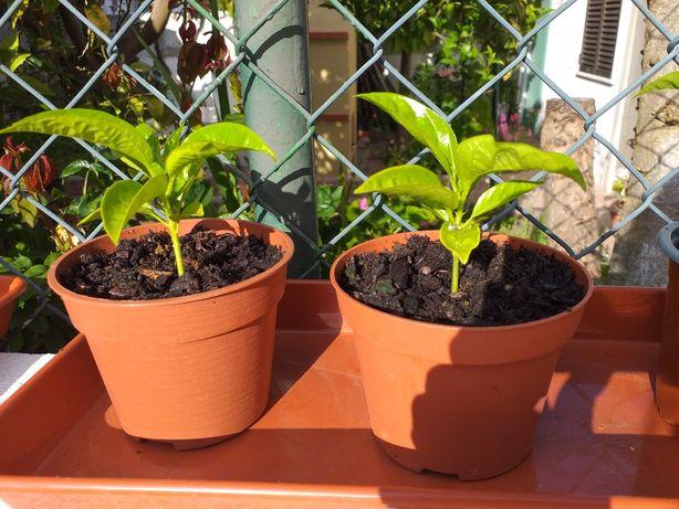 Vendo Planta de Maracujá Roxo 4€/cada