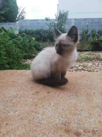 Gatinhos pelo médio/longo para adopção