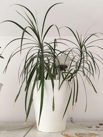Kwiaty doniczkowe palma dracena i benjaminek