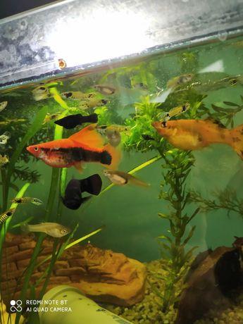 Molinezja czarna i żółta  mieczyk czerwony gupiki