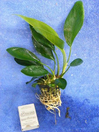 GB Anubias congensis 25cm roślina w koszyczku