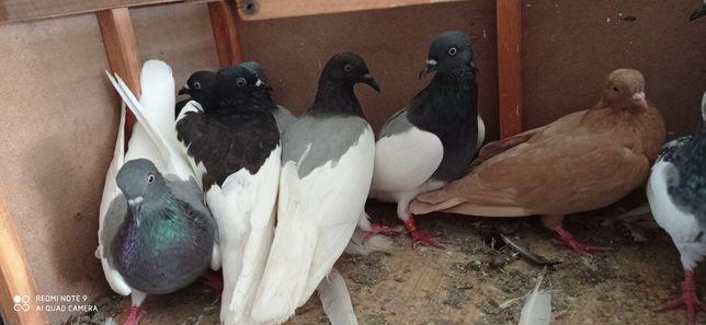 Gołębie murzyny typlery