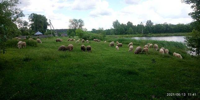 Продаю овцы бараны ягнята
