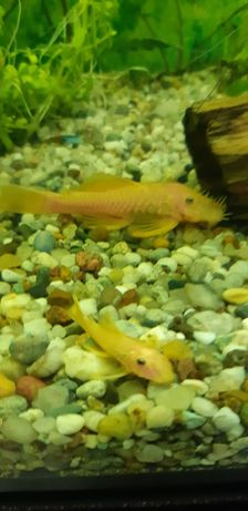Glonojady l144  rybki