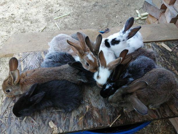 Sprzedam króliki w różnym wieku