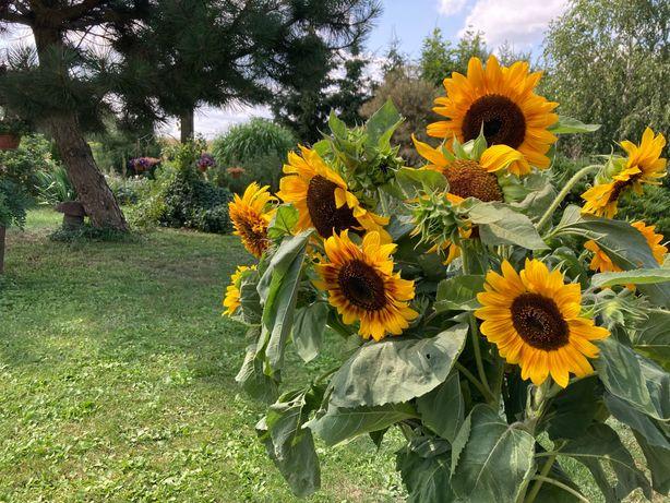 Słoneczniki ozdobne/ na kwiat cięty