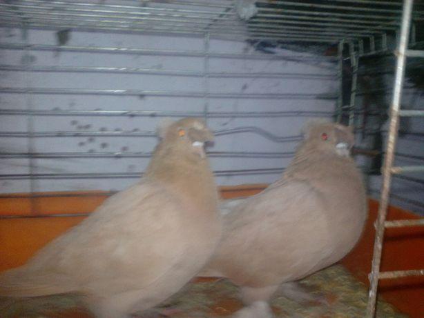 turkoty dwuczube para