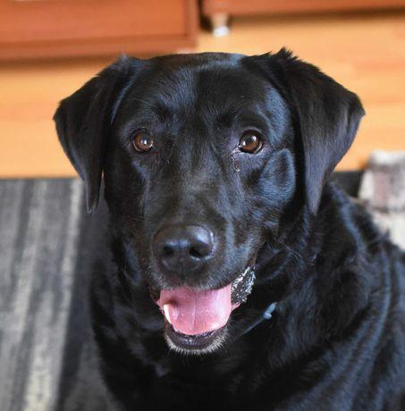Labrador szuka domu
