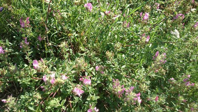Семена люцерны посевной